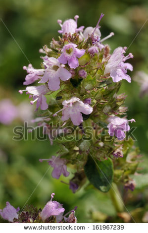 Thymus Pulegioides Stock Photos, Images, & Pictures.