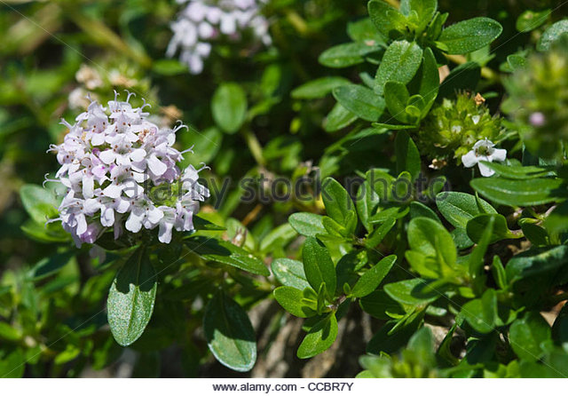 Large Thyme Stock Photos & Large Thyme Stock Images.