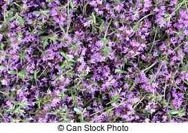 Pictures of purple thyme.