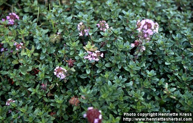 Photo: Thymus pulegioides 7..