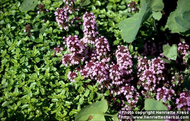 Photo: Thymus pulegioides 5..
