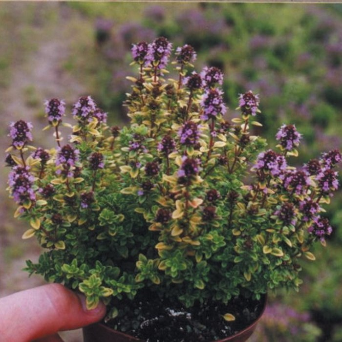 Thymus pulegioides 'Archers Gold'.