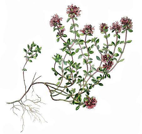 Kryptimian (Thymus serpyllum).