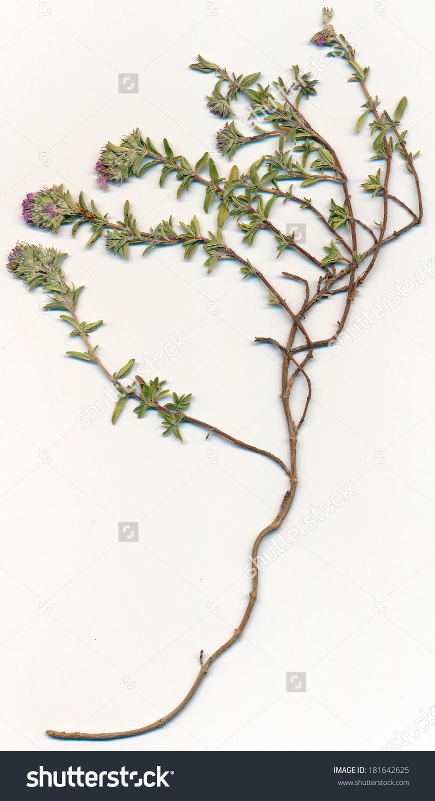 Breckland Thyme Thymus Serpyllum Flowers Herbarium Stock Photo.