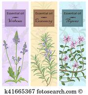 Thymus serpyllum Clipart Royalty Free. 8 thymus serpyllum clip art.