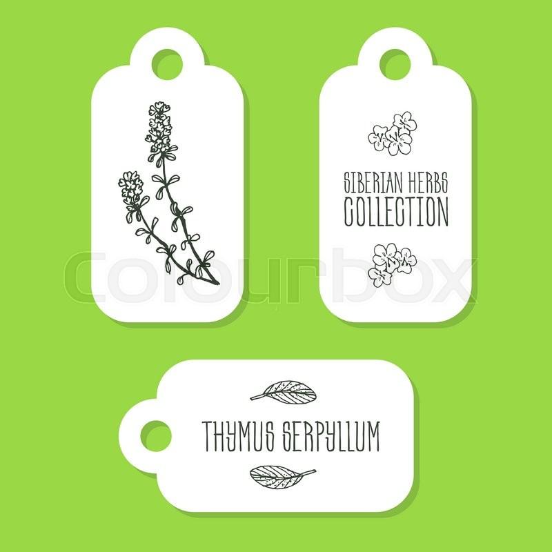 Thymus serpyllum.