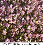 Thymus Stock Photo Images. 2,280 thymus royalty free images and.