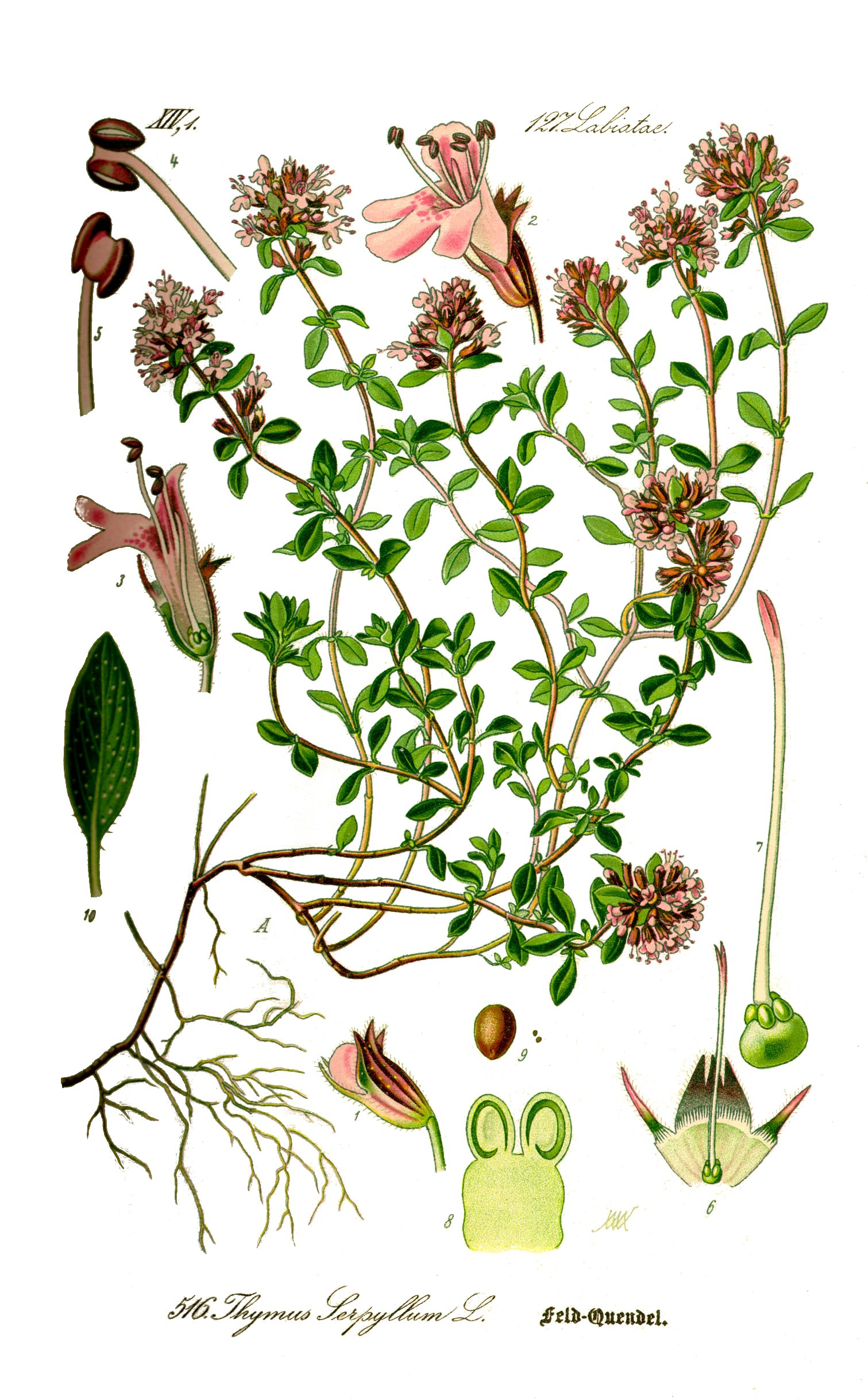 Thymus serpyllum L..