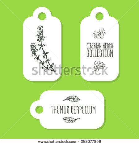 Thymus Serpyllum Stock Photos, Royalty.