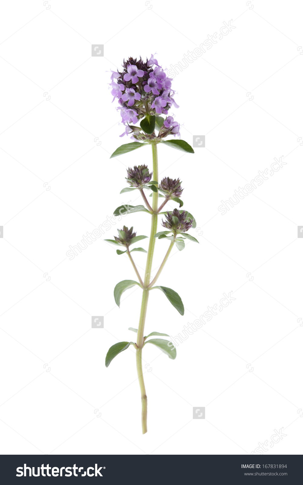 Thymus Vulgaris Thyme Flower Isolated On Stock Photo 167831894.