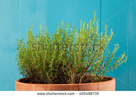 Thymus Vulgaris Stock Photos, Royalty.