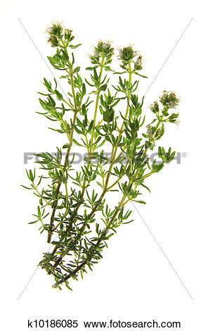 Stock Image of Thyme (Thymus vulgaris) k10186085.