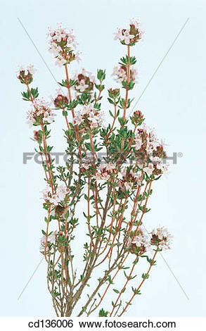 Stock Images of Thyme (Thymus vulgaris) cd136006.