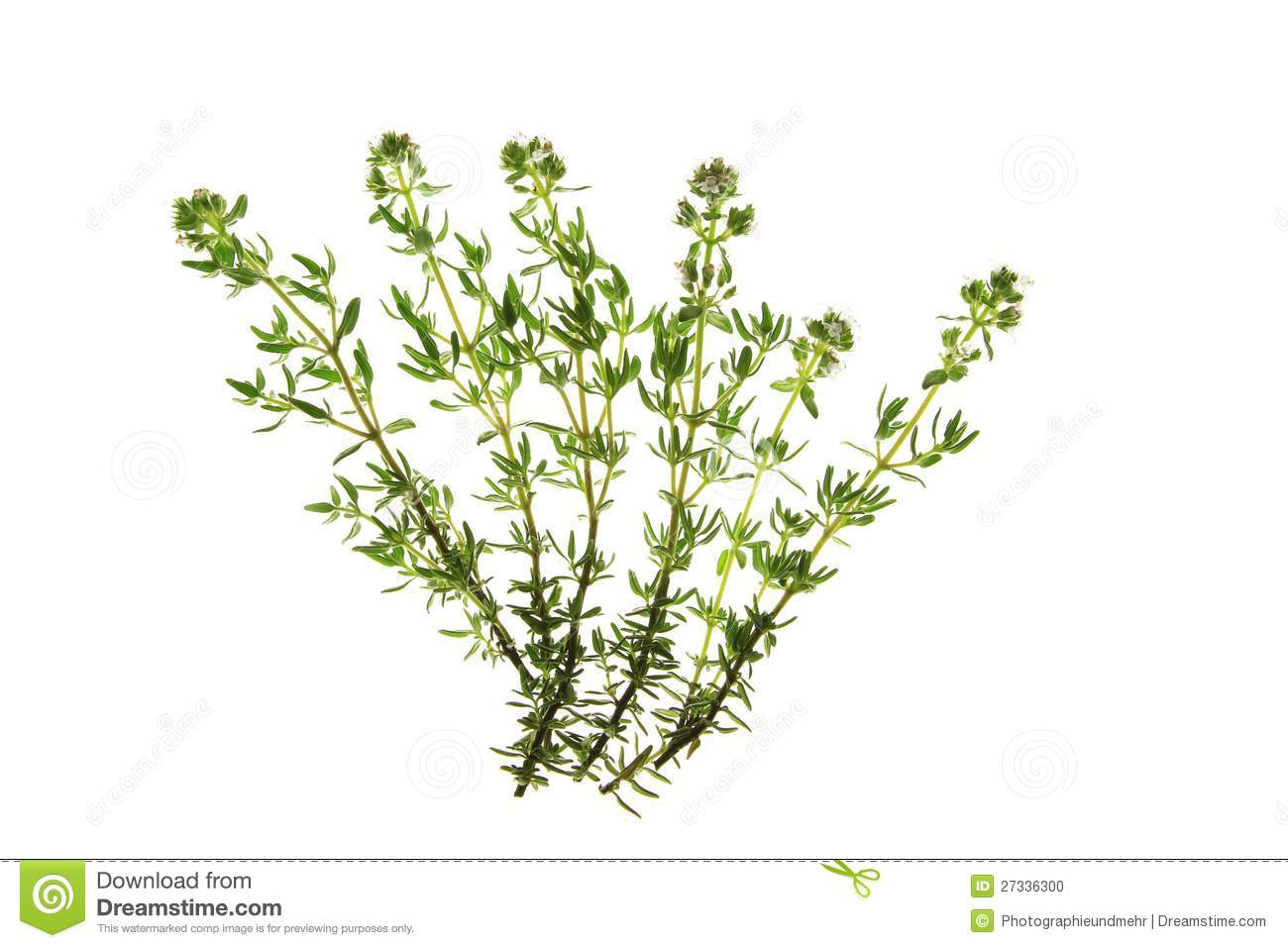 Thyme (Thymus Vulgaris) Stock Photo.