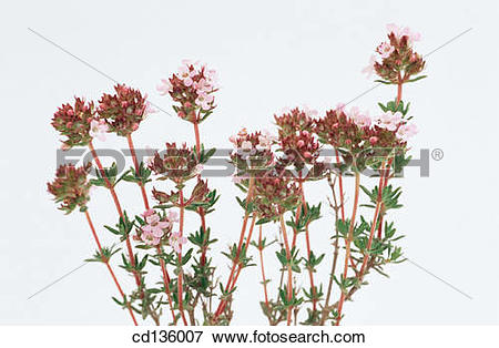 Picture of Thyme (Thymus vulgaris) cd136007.