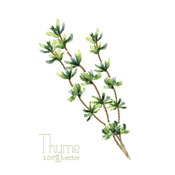 Thymus Vulgaris Clip Art, Vector Images & Illustrations.