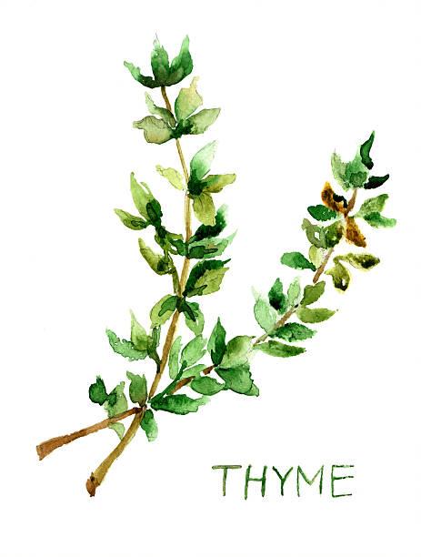 Thymus Vulgaris Clip Art, Vector Images & Illustrations.