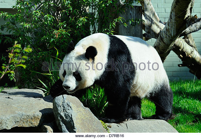 Giant Panda In Zoo Stock Photos & Giant Panda In Zoo Stock Images.