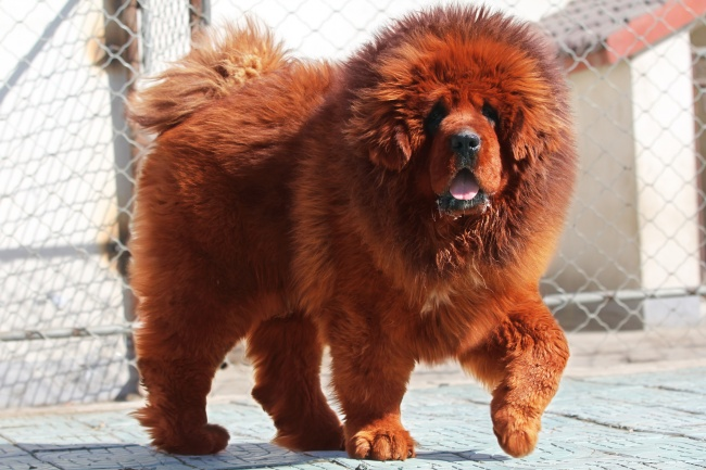Tibetan mastiff hd clipart.