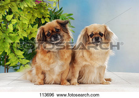 Stock Images of dog, tibetan, spaniel 113696.