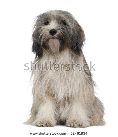 Tibetan Terrier Stock Photos, Royalty.