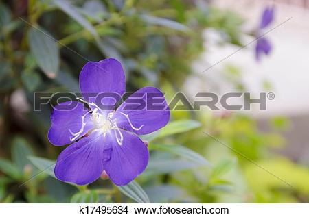 Drawings of Purple Flower Tibouchina in green garden k17495634.