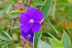 Tibouchina Semidecandra, The Princess Flower Stock Photo.