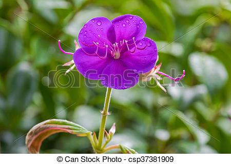Stock Photography of Tibouchina Alstonville flower in purple.