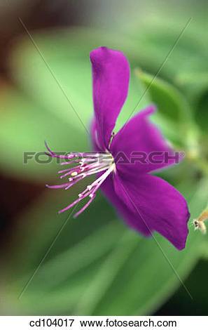 Picture of Glory Bush or Princess Flower (Tibouchina semidecandra.