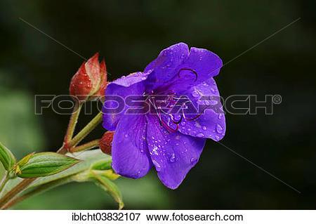 "Picture of ""Princess Flower (Tibouchina urvilleana, a flower."