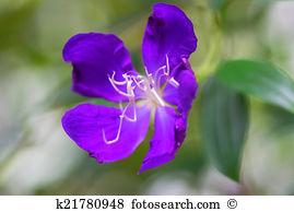 Tibouchina Images and Stock Photos. 39 tibouchina photography and.