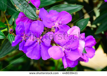 Tibouchina Stock Photos, Royalty.