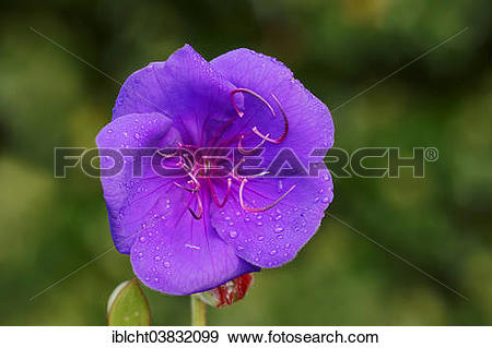 "Stock Photograph of ""Princess Flower (Tibouchina urvilleana."