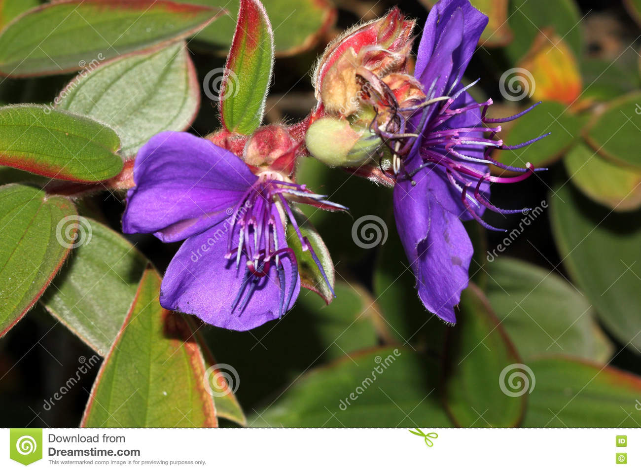 Tibouchina Urvilleana, Princess Flower, Purple Glory Bush Stock.