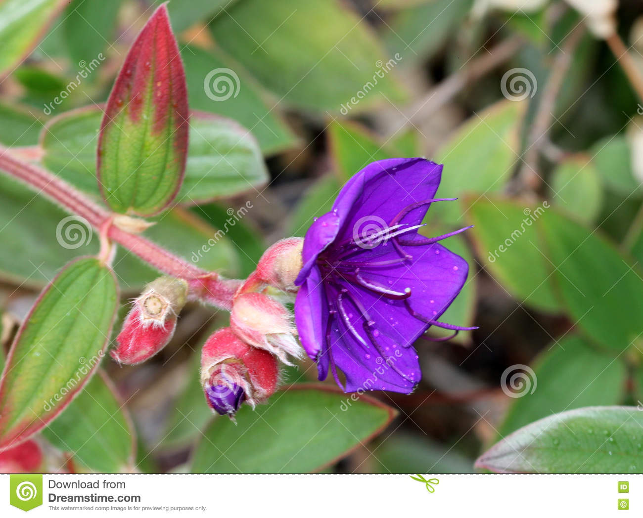 Tibouchina Urvilleana, Princess Flower Stock Photo.