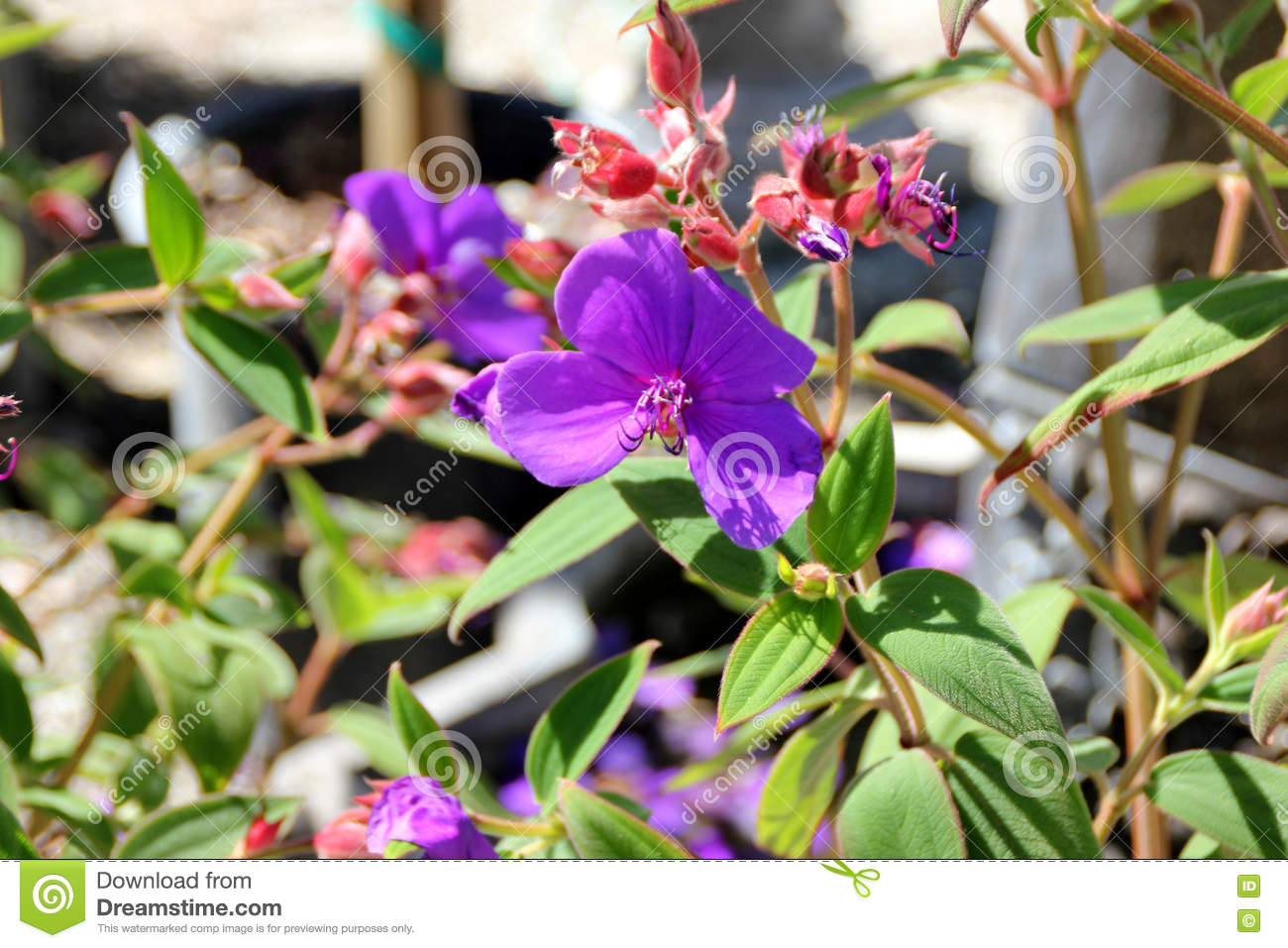 Tibouchina Urvilleana, Glory Bush, Princess Flower, Lasiandra.
