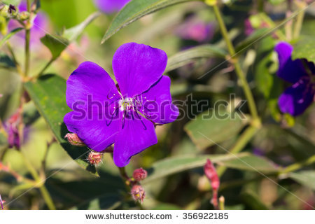 Purple Princess Flower, Glory Flower, Tibouchina Urvilleana.