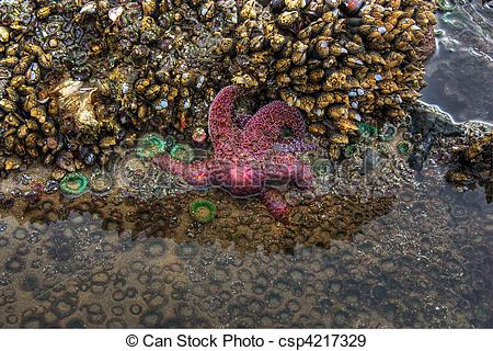 Stock Photographs of Starfish in Tide Pool.