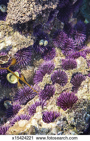 Stock Photography of Purple sea urchins in tide pool x15424221.
