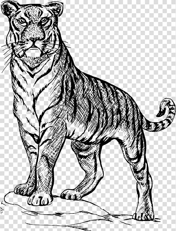 Drawing Line art , tiger black and white transparent.