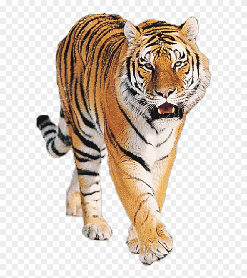 Tiger Png Free Download.