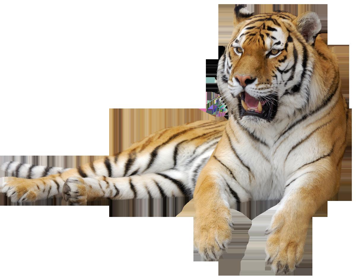 Free Albino Tiger Cliparts, Download Free Clip Art, Free.