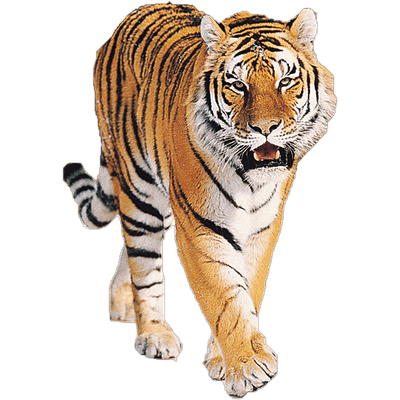 Tiger Roaring transparent PNG.