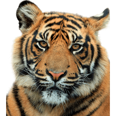Jumping Tiger Clipart transparent PNG.
