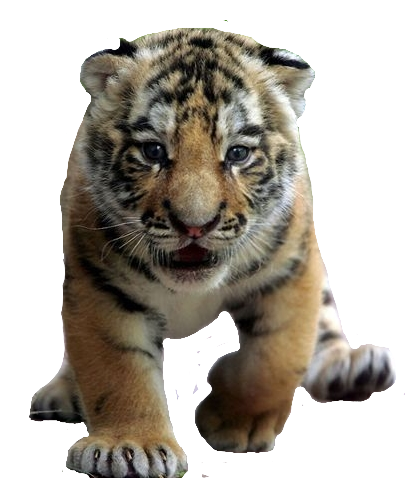 Download Free png File:Tiger cub.png.