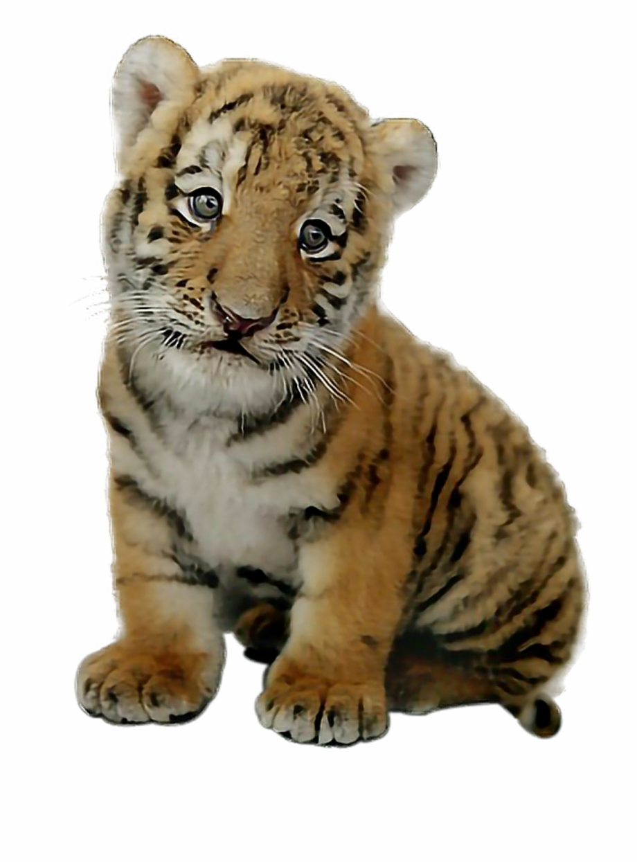 Picsart Baby Tiger Png , Png Download.