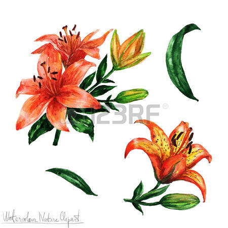 241 Tiger Lily Stock Vector Illustration And Royalty Free Tiger.