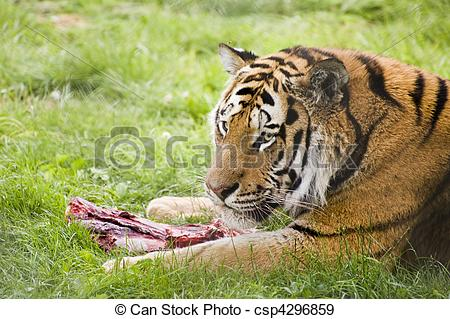 Stock Photographs of Amur Siberian Tiger eating.