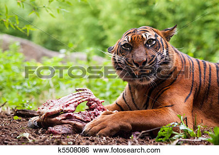 tiger eating clipart #13