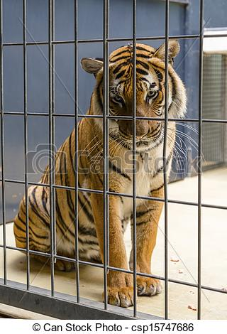Pictures of Tiger in a cage. Berlin Zoo csp15747686.
